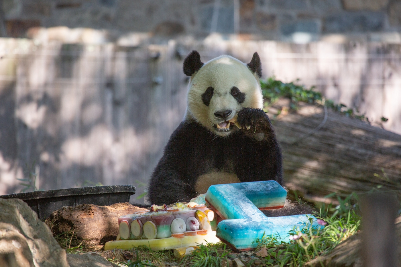 The National Zoo Prepares To Bid Farewell To Beloved Giant Panda Bei Bei