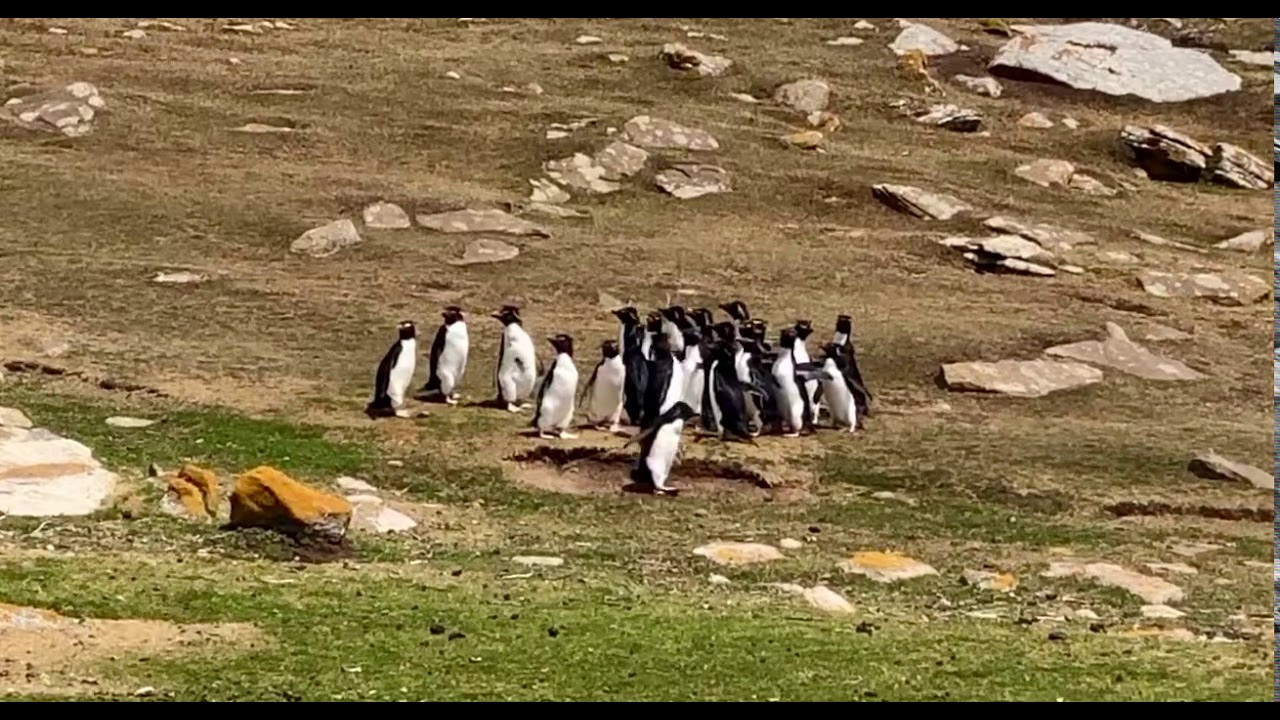 Watch What Happens When A Confused Penguin Hops Away With The Wrong Group