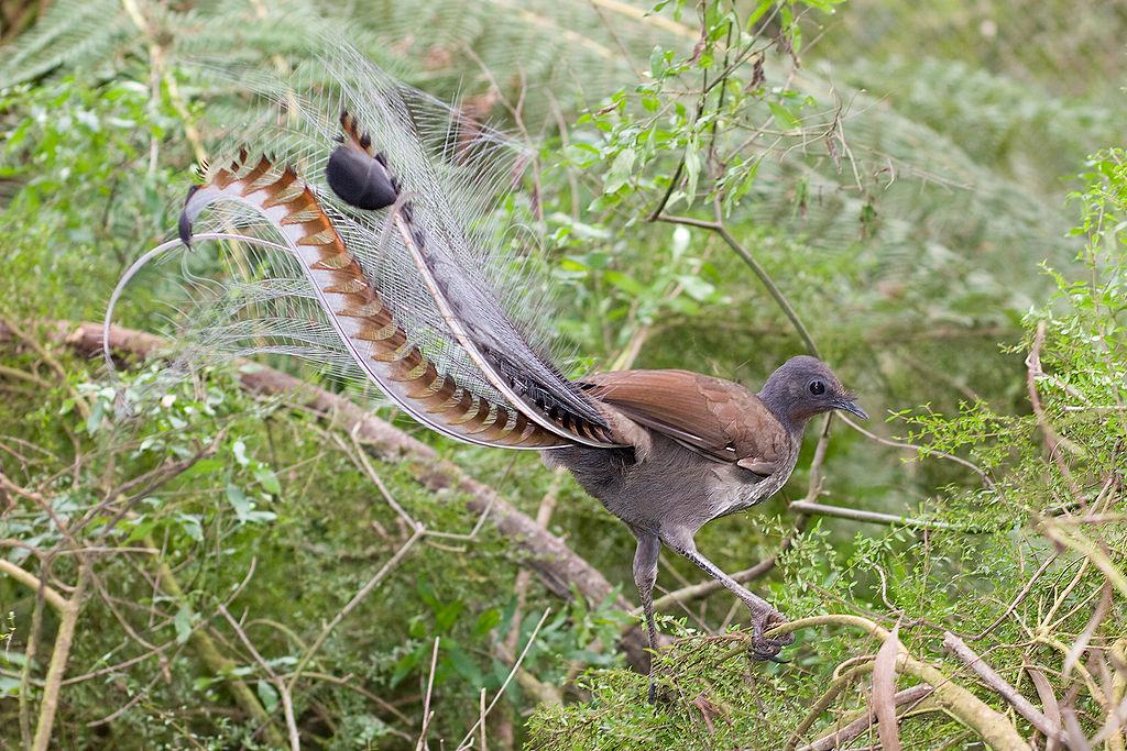 Australia's Superb Lyrebird Can Sing, Dance, and Do