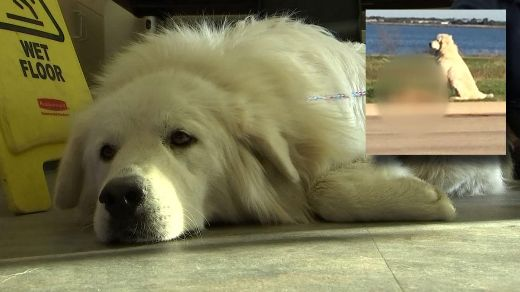 Loyal Giant Pyrenees Stands Guard Over Canine Buddy Hit By A Car