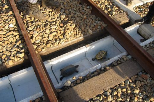 Special Tunnels Save Turtles From Train Deaths In Japan