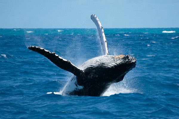 Rescue Crews Free Humpback Whale Entangled In Fishing Gear In California's Monterey Bay