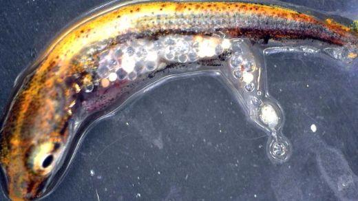 Swedish Study Indicates Baby Fish Prefer Plastic Over Regular Food