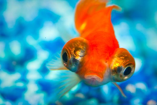 Surprise! Your Pet Fish May Be Able To Recognize You!