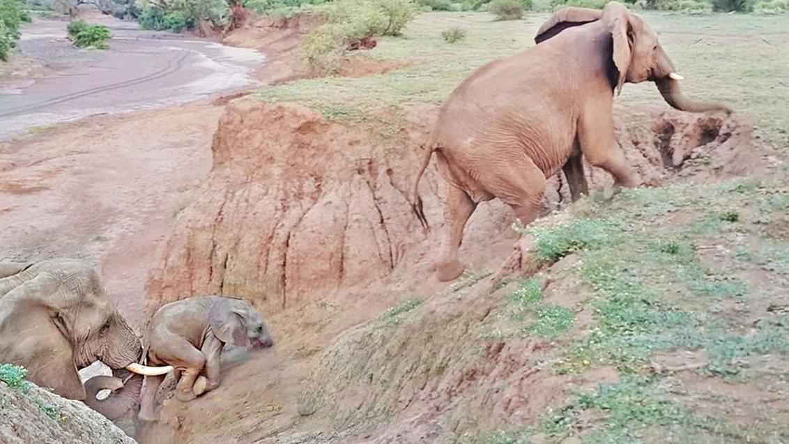 被困的小象从象群的母象那里得到了帮助