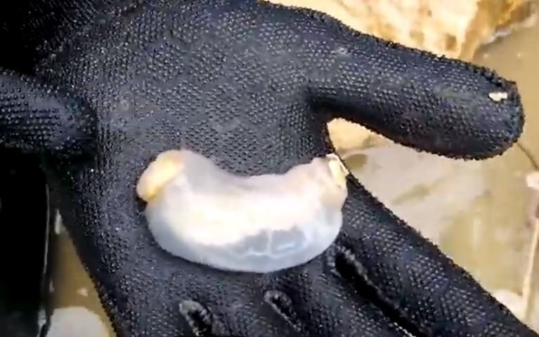 These Shipworms Prefer To Eat Rocks Instead Of Wood!