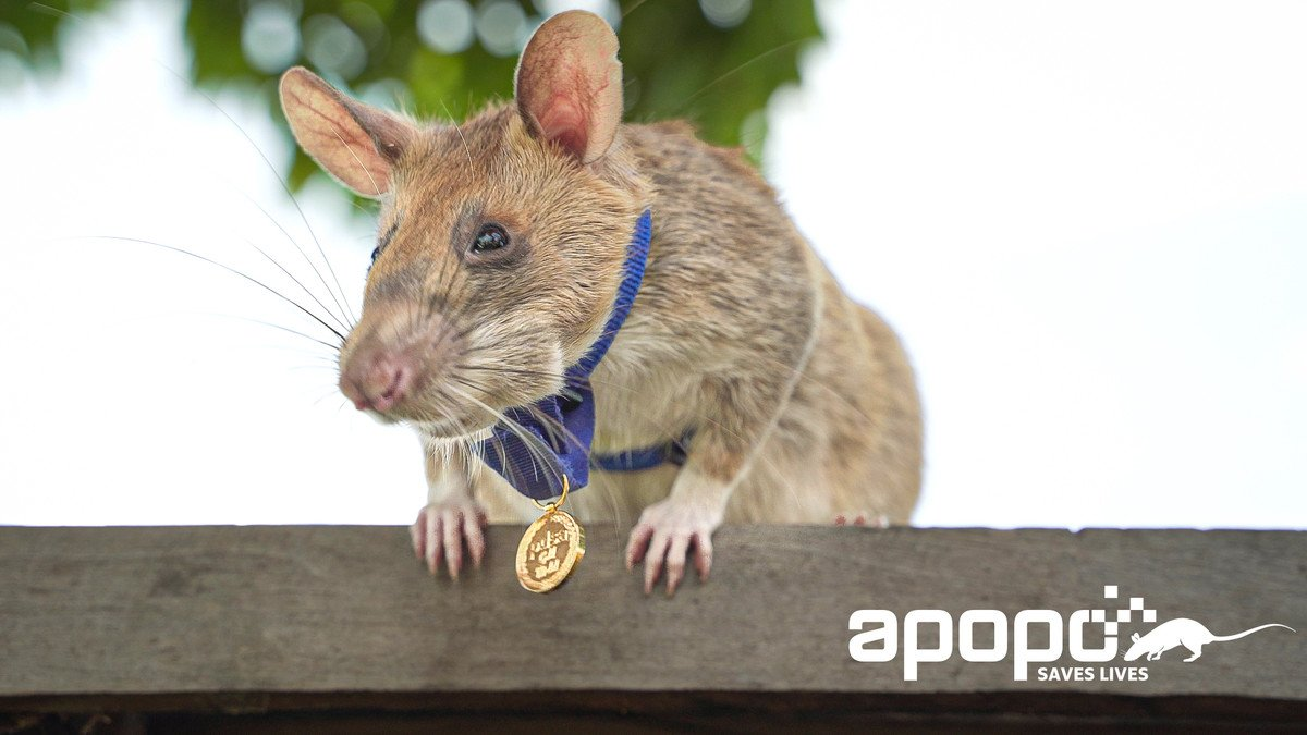 Cambodia landmine detection rat awarded miniature gold medal for 'lifesaving bravery'""