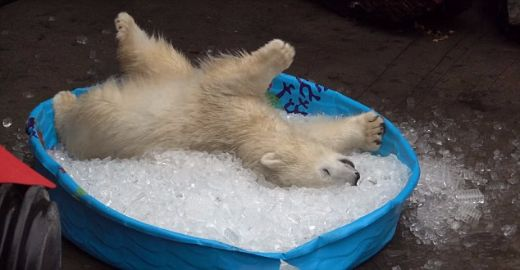 Video Of The Week — Adorable Polar Bear Cub Nora Chills Out At The Oregon Zoo