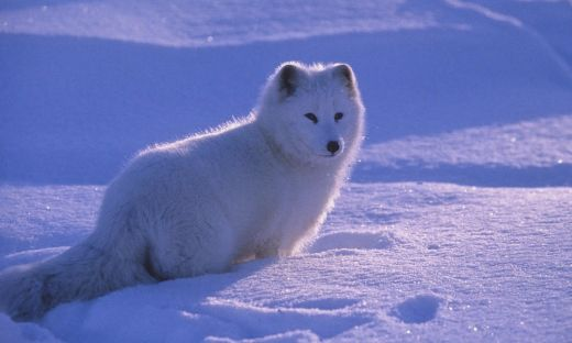 Video Of The Week — Adorable Arctic Fox Pups Attack Hidden Camera