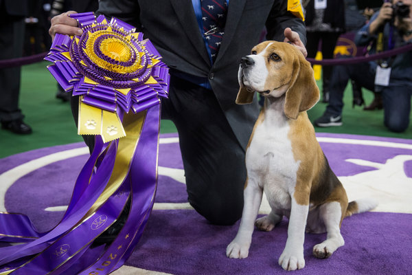 beagle scores rare win at america s prestigious westminster kennel