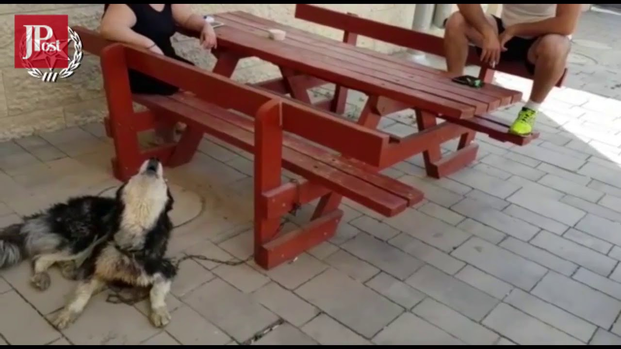 Singing Helps Siberian Husky Reunite With Owner