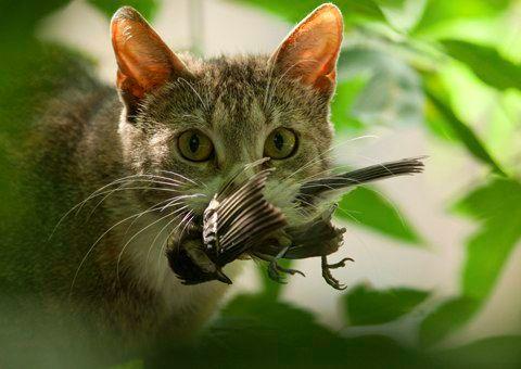 Domestic-cat-holding-a-bi-001-medium