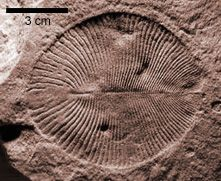 Plant-Like Ediacarans Were Possibly One Of The Earliest Animals On Earth