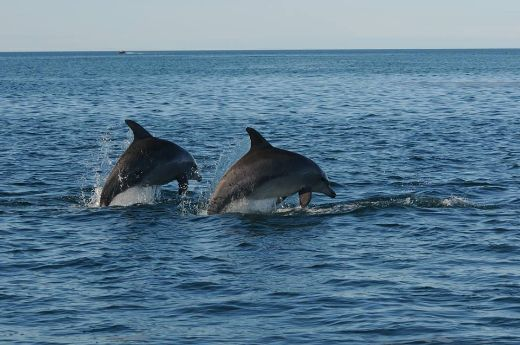 "Male Bottlenose Dolphins Use ""Names"" To Identify Friends and Rivals"