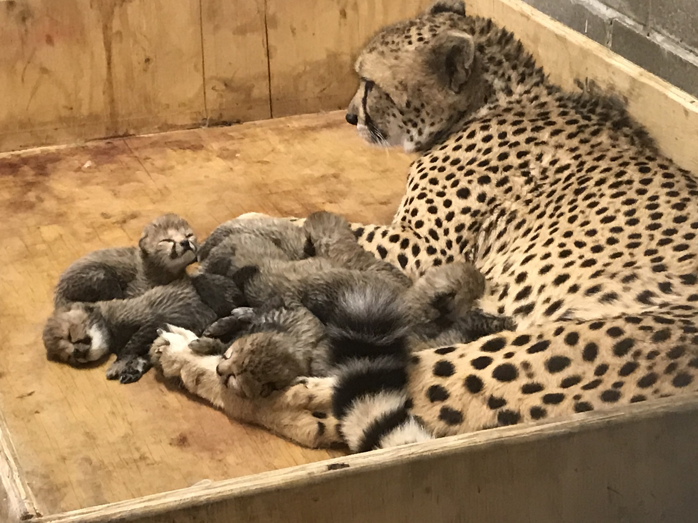 st louis zoo welcomes eight adorable cheetah cubs kids news article
