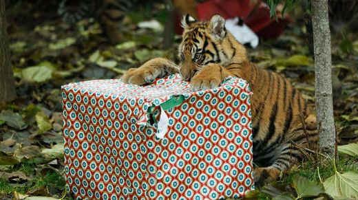 Tiger-cubs-get-christmas-presents-c-zsl-london-medium
