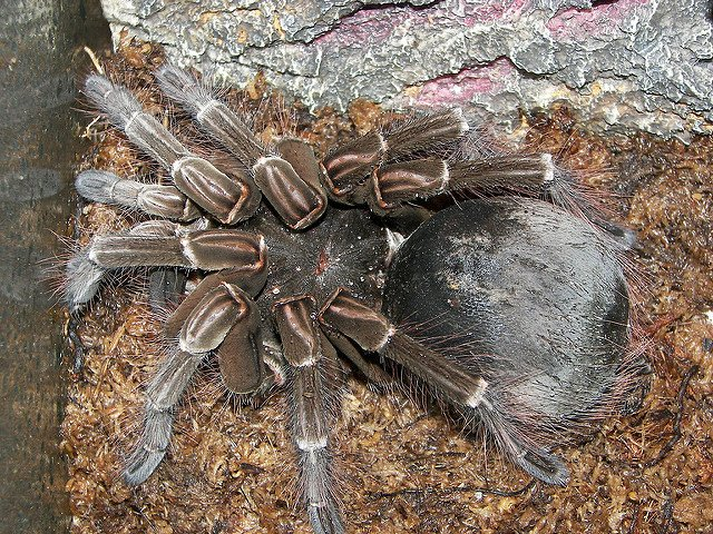 largest spider in the world - photo #9