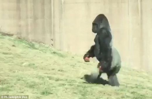 Philadelphia Zoo Gorilla Walks Upright To Keep His Hands And Food Clean!
