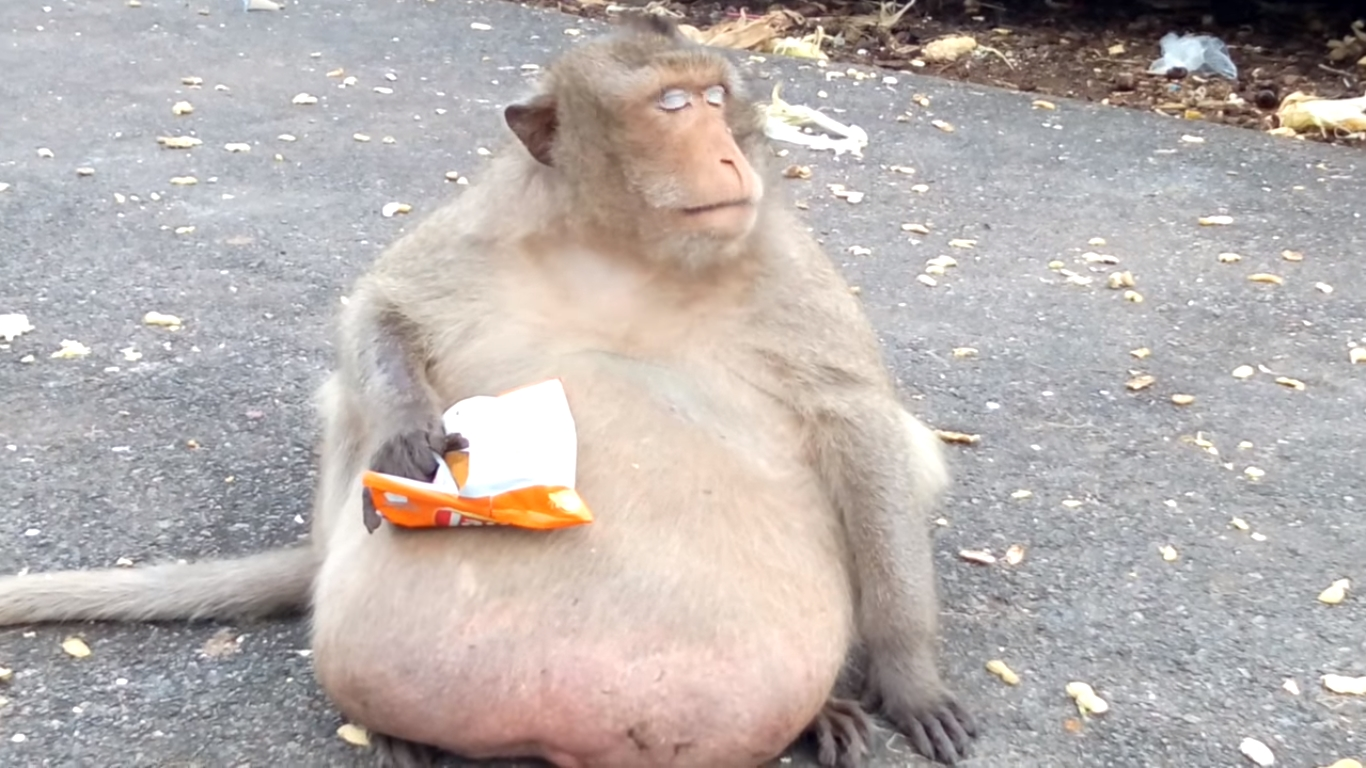 """Thailand's Famous Macaque """"Uncle Fat"""" Placed On A Diet ... Fat Monkey Wallpaper"""