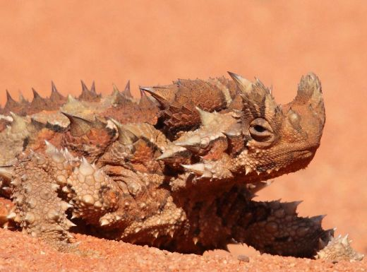 Australia's Thorny Devil Lizards Drink Water By Burying Themselves In The Sand