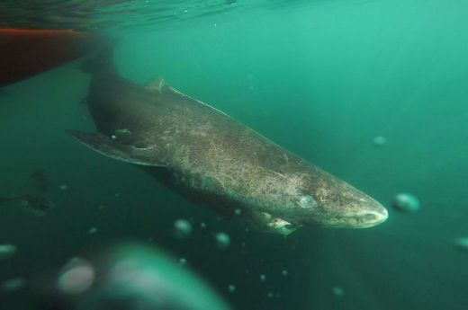 It's Official! The Greenland Shark Is The Longest Living Vertebrate Known To Science
