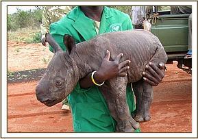 Elephant Orphanage Adopts Baby Rhino