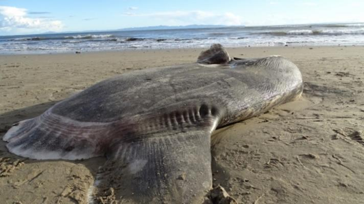 Rare Hoodwinker Sunfish Washes Up On California Beach