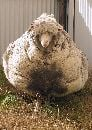 Chris2be5ce8600000578-3220414-the_sheep_above_was_found_wondering_around_in_the_bush_with_a_ma-a-1_1441611642446-small