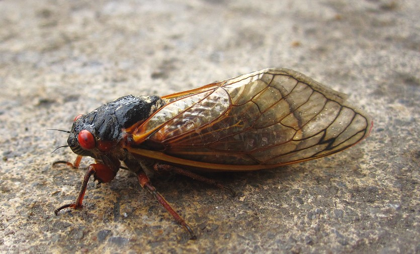 Eastern US States Brace For An Onslaught Of Millions Of Noisy 17-Year Cicadas