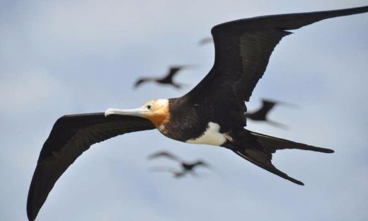 The Great Frigatebird Is Like The Energizer Bunny — It Keeps Going And Going And. . .