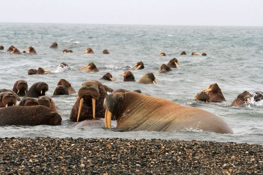 Protective Walrus Mom Sinks Russian Research Boat In The Arctic Ocean