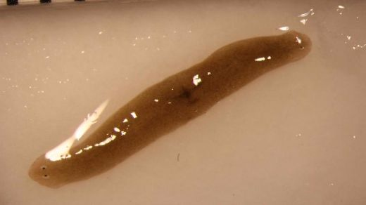 Flatworm Returns From Space With Two Heads!