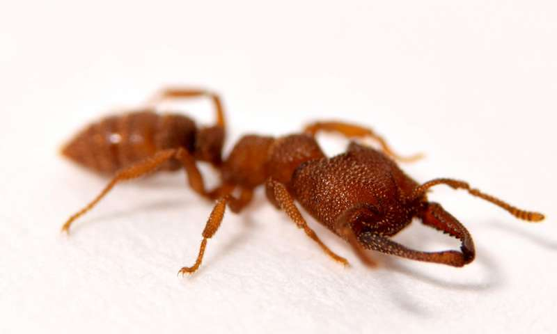 Tiny Dracula Ants Set Record For The Fastest-Known Animal Movement