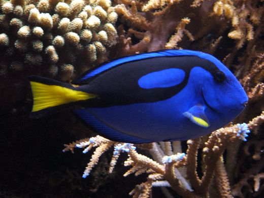 "Why ""Finding Dory"" For Your Aquarium May Not Be A Good Idea"