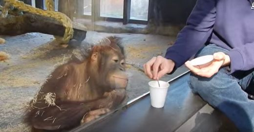 Video Of The Week - Orangutan's Hilarious Reaction To Simple Magic Trick