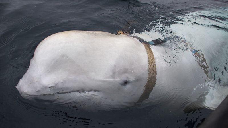 Watch an adorable beluga whale rescue a phone from the ocean
