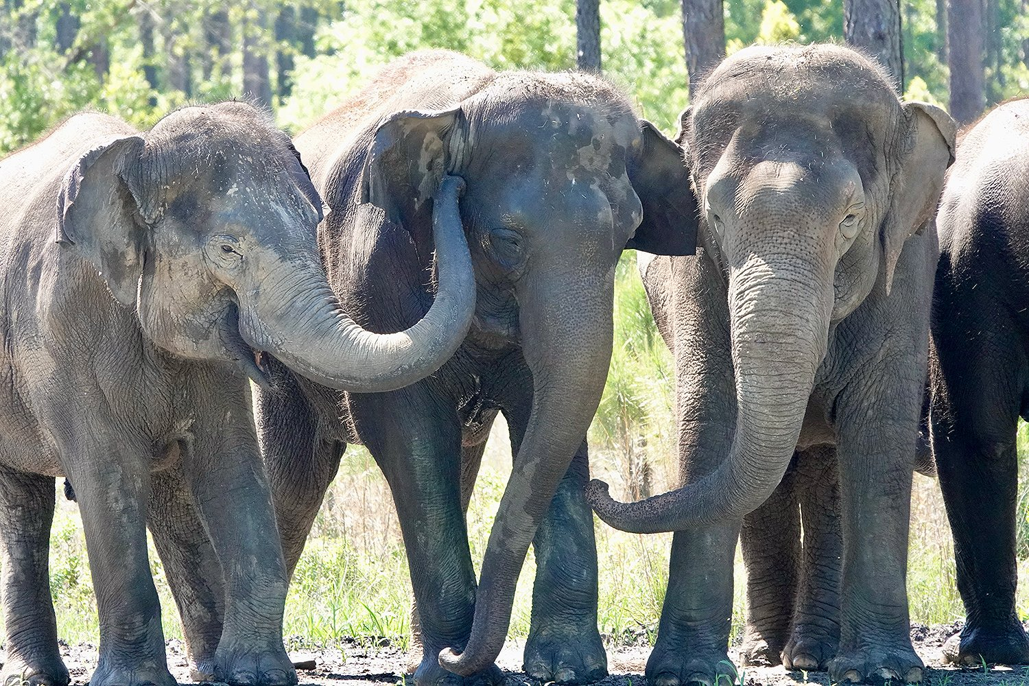 Retired Circus Elephants Move To New Home With Plenty Of Room To Explore