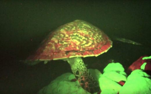 This 'Glowing' Sea Turtle Is The World's First Known Biofluorescent  Reptile