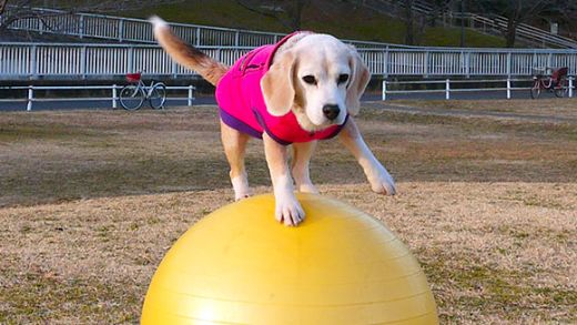 Video Of The Week — Talented Beagle Breaks Yet Another World Record