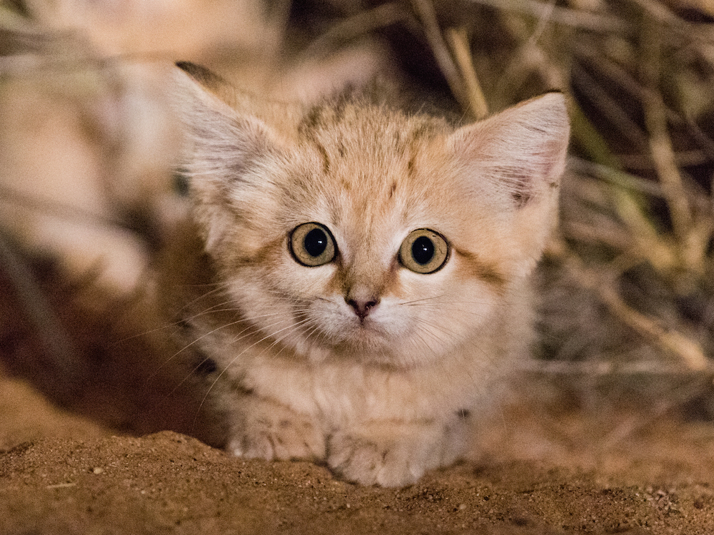 Video Of The Week — Gorgeous Sand Cat Kittens Seen In The Wild For The First Time