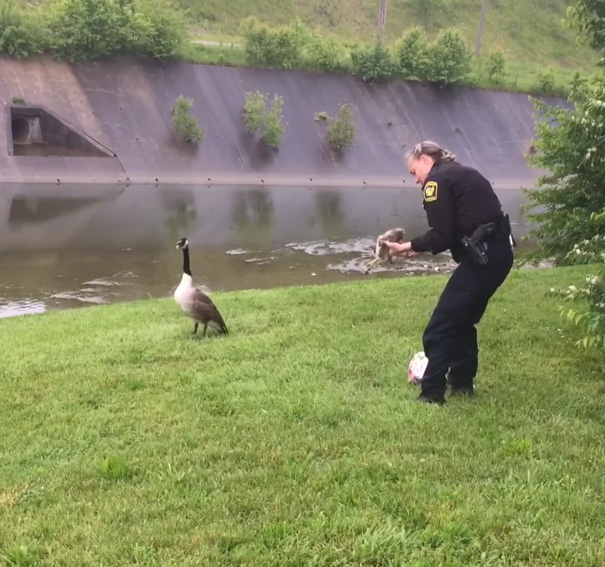 Smart Mother Goose Asks Police Officer To Help Free Her Entangled Gosling