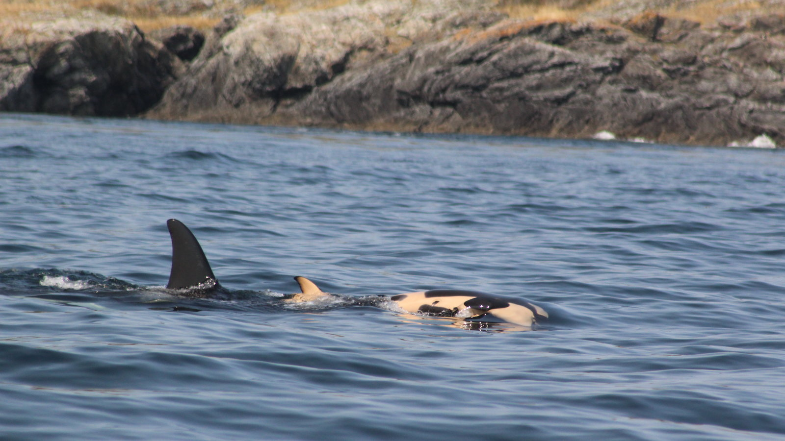 Grieving Salish Sea Orca Whale Carries Dead Calf For 17 Days