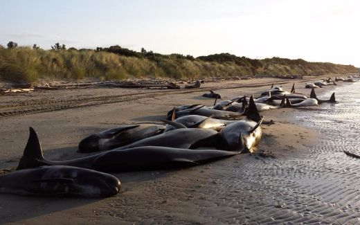 New Zealand Experiences Biggest Whale Stranding In Decades