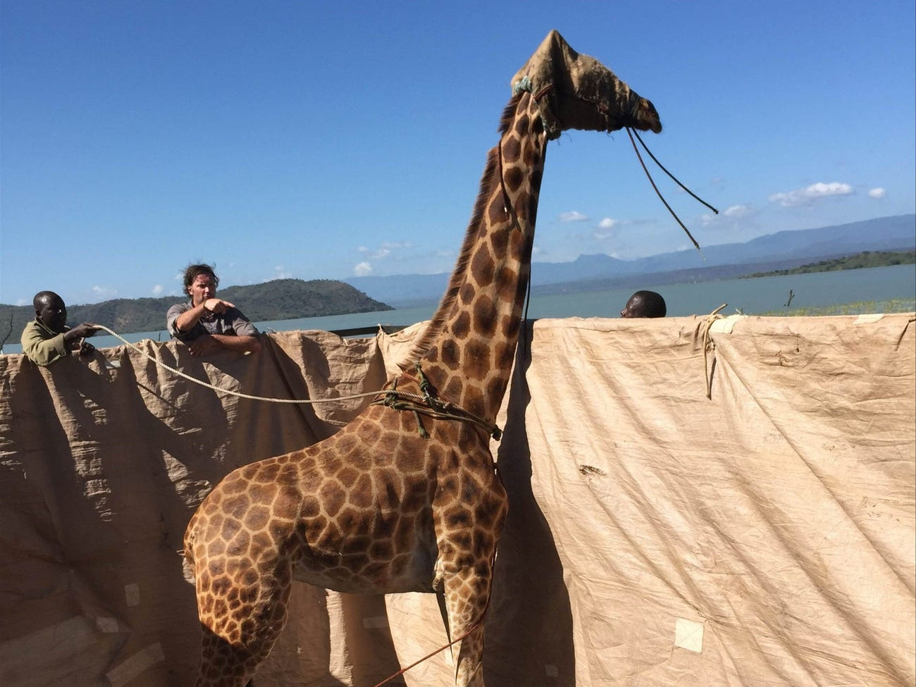 Conservationists Rescue Endangered Giraffes Trapped On Kenyan Island