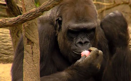 Video Of The Week — Gorillas Love Egg Hunts Too!