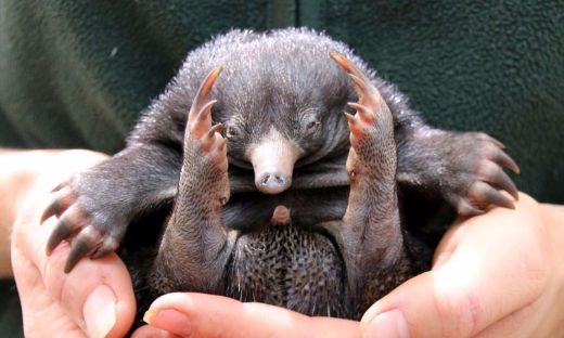 Australian Zoo Celebrates First Echidna Births In 30 Years