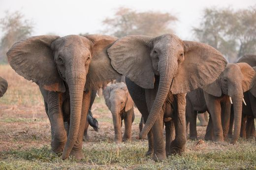 Excessive Poaching May Be Causing African Elephants To Evolve Without Tusks