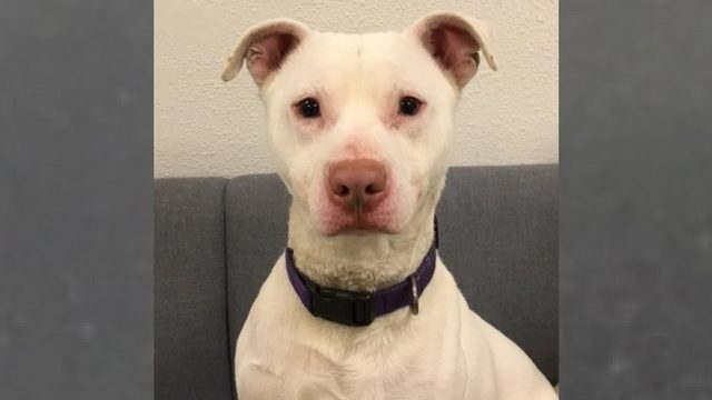 """""""Unadoptable"""" Rescue Dog Makes History As The First Deaf Member Of Washington's K-9 Unit"""