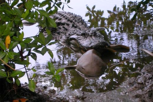 Study Reveals Alligators Will Do Anything For A Tasty Morsel — Even Venture Into Salty Waters!