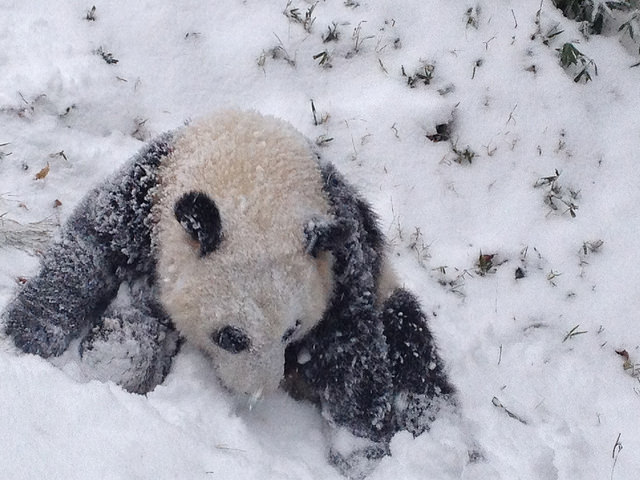 on january th americaus favorite giant panda bao bao that resides at national
